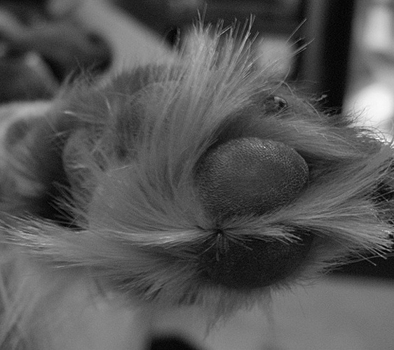 Learn How to Care for a Paw Pad Injuries at Home