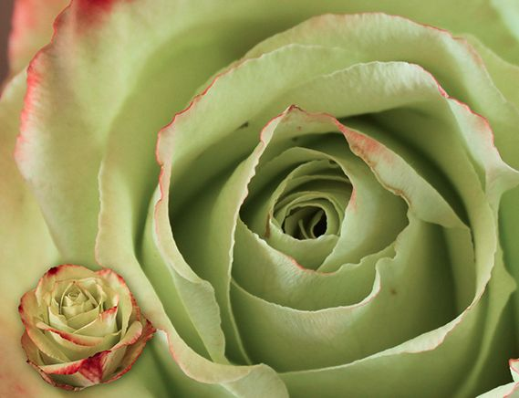 ZAZU is a special one. Green with deep red edges #roses #mystical #autumn freshness !