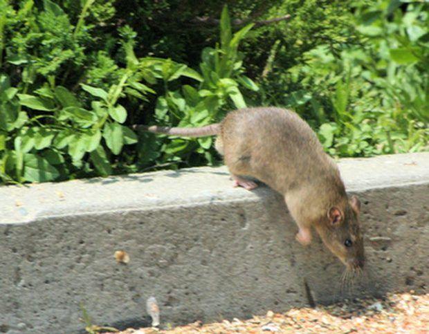 Cómo deshacerse de ratas y ratones con amoníaco