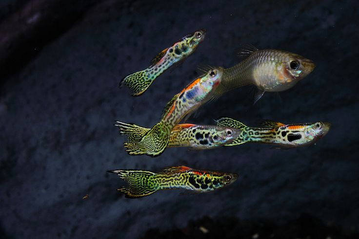 Endler cross guppy guppy aquariums and exotic fish for Endler guppy