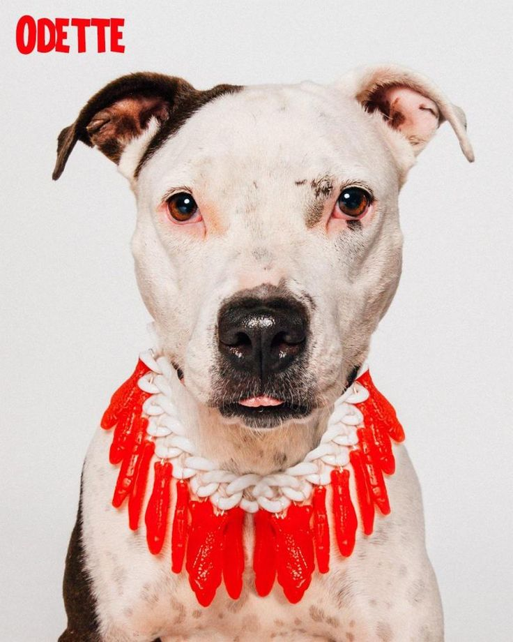 Odette is an adoptable Pit Bull Terrier searching for a forever family near…