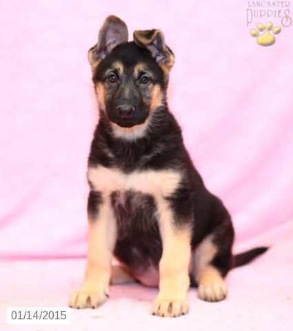 German Shepherd Puppy for Sale in Pennsylvania