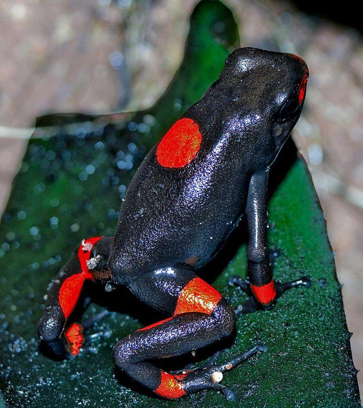 Harlequin Poison Dart Frogs, Oophaga histrionica, Oophaga sylvatica