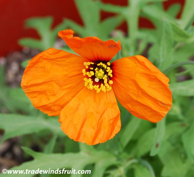 """Added Stylomecon heterophylla """"Wind Poppy"""" to the yard today 4/10/12. Might get too hot for it to thrive, but we'll see. California native and rare."""