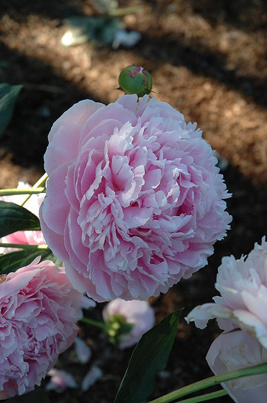 Shirley Temple Peony (Paeonia 'Shirley Temple') at Stein's Garden & Home
