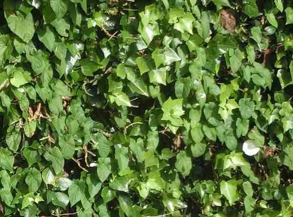 Haagwinde, pispotje of heggewinde, Calystegia sepium, Convolvulus sepium,