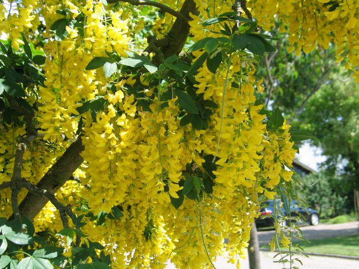 Laburnum: gouden regen... toch wel passende naam. bloeit in mei.