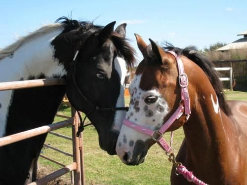 Brave Heart Equine Rehabilitation and Rescue: Freckles Faces, B Hors, Horses 3, Animal Hors, Horsesp Borrowed, Gentle Horsesp, Cudd Hors, Paintings Out, Horsey Friends