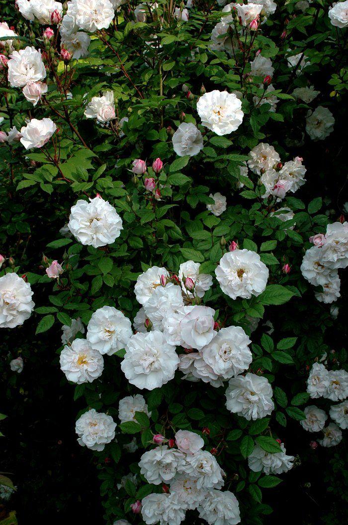 venusta-pendula ros. Vit klätterros som klarar skugga, till rosenvalvet vid vardagsrummet.