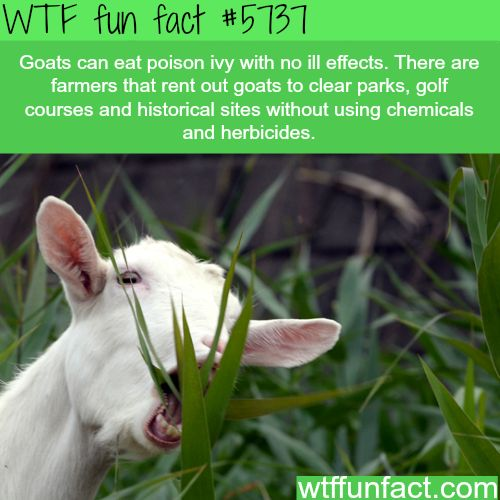 Why goats should be mowing your lawn - WTF fun facts…