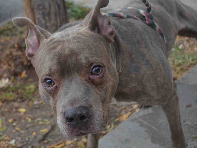 Manhattan Center PERFECT – A1092802  MALE, BR BRINDLE, AM PIT BULL TER MIX, 2 yrs STRAY – STRAY WAIT, NO HOLD Reason STRAY Intake condition EXAM REQ Intake Date 10/08/2016, From NY 10467, DueOut Date 10/11/2016,