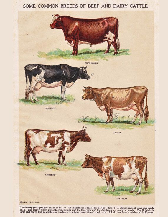 vintage cattle breeds, 'Breeds of Beef and Dairy Cattle', vintage printable home decor