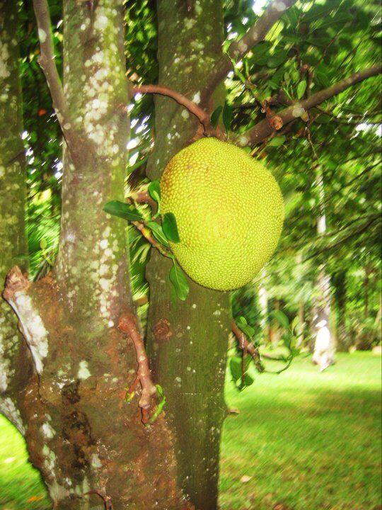 Large fruit, Mauritius