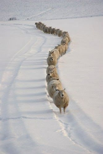 Stunning Picz: Winter Sheep  Follow the Leader