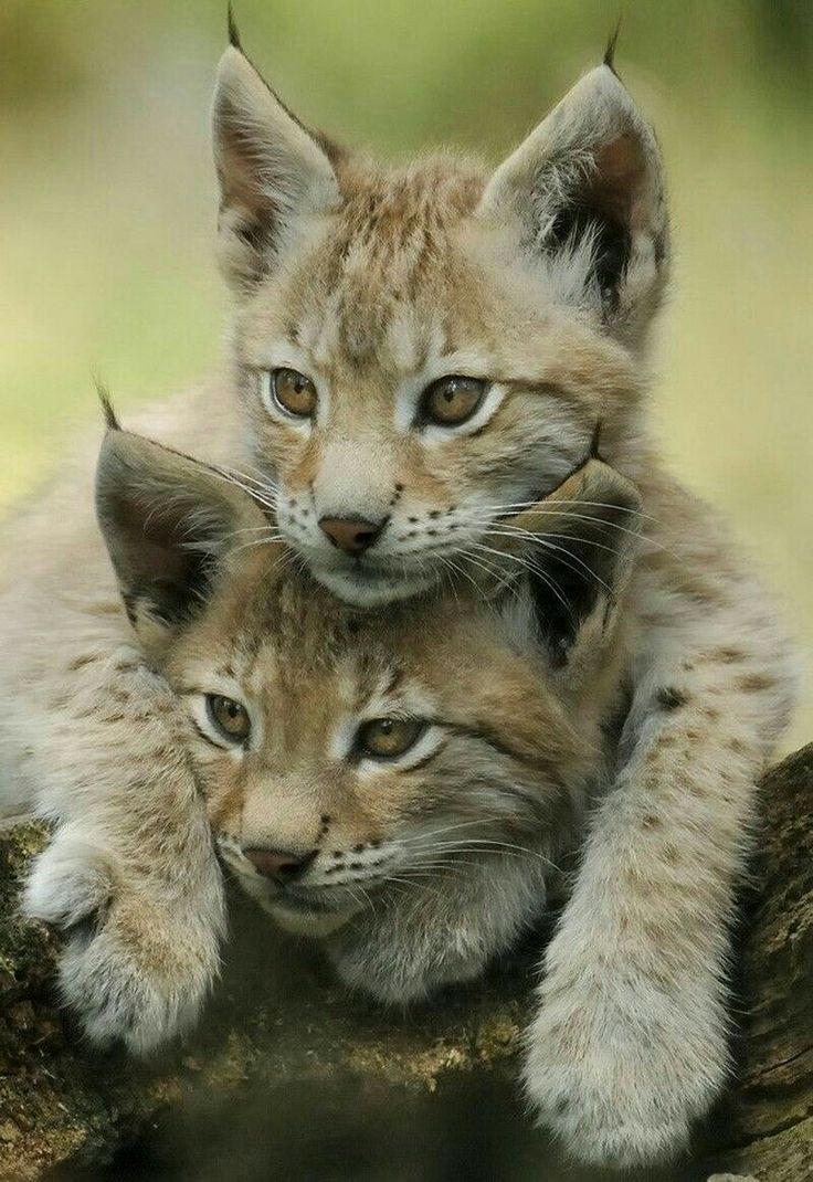 Cute Baby Animals: Lynx Kittens.