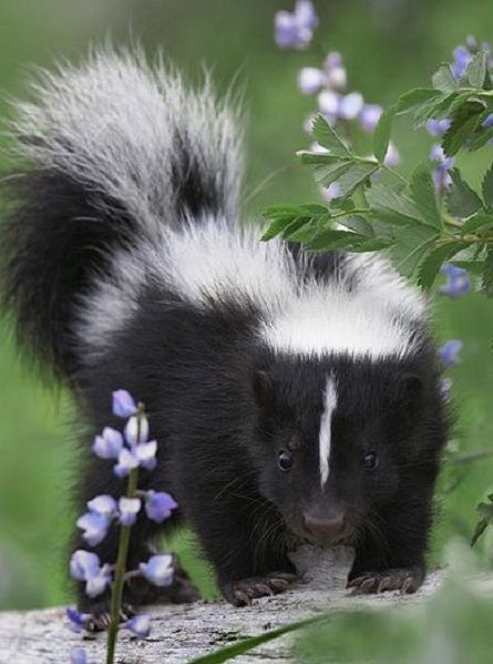 mokacahuete-animaux:  theenchantedwind:  Striped Skunk Kit by Tim Fitzharris Found on natures-paintbox.tumblr.com  §