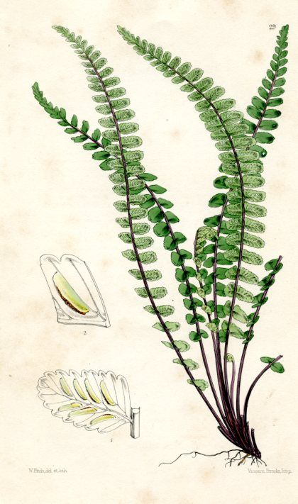 Maidenhair Spleenwort (Asplenium), Ferns of Great Britain and Ireland, (England, 1861) botanical print