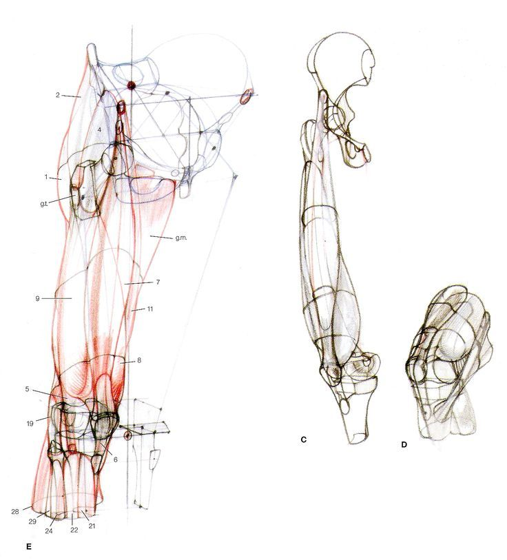 The 167 Best Figure Leg Anatomy Bone And Muscle Images On Pinterest