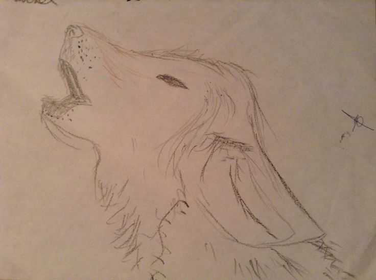 a young wolf howling