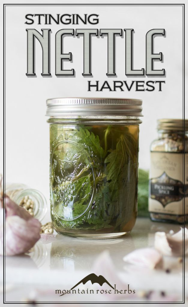 Spring Recipes: Stinging Nettle Harvest - Pickled Nettles, Nourishing Infusions, Savory Chips, Biscuits, and more...