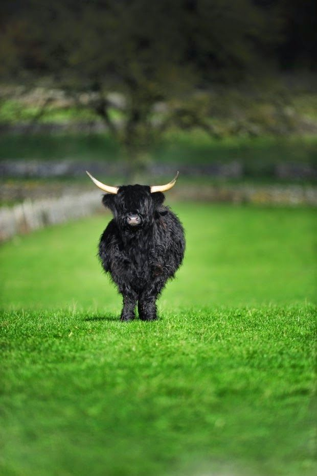 Scotland's Highland Cattle are an ancient cattle breed whose ancestry is long and distinguished that can be traced back through generations. Highland Cattle are varied in colour; those recognized by the Highland Cattle Society are Red, Yellow, Black, Dunn and Brindle.