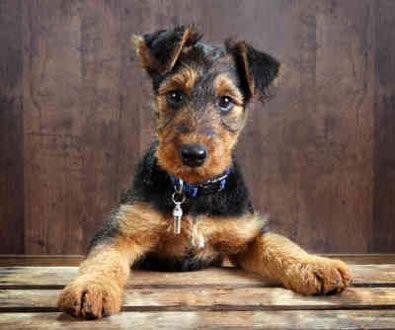 Airedale Terrier Özellikleri: Terrier'lerin kralı olarak bilinen Airedale Terrier terrierlerin büyük cins grubuna girer. Kare şeklinde bir görüntüsü vardır. Başı uzun ve düzdür. Burun siyah renklidir. Küçük olan gözleri ise koyu renklidir. V-şekilli olan kulakları kafasının üzerine katlanmış durumdadır. Ön bacakları mükemmel bir şekilde düzdür. Derisi çift katlı yoğun kıl yapısı ile dayanıklı ve güçlüdür. Tüy rengi kahverengi, siyah ve gri renklerinde değişmektedir.