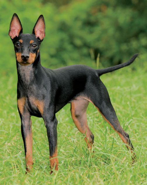TOY MANCHESTER TERRIER, low exercise needs…….reminds me of my first dog named Cracker
