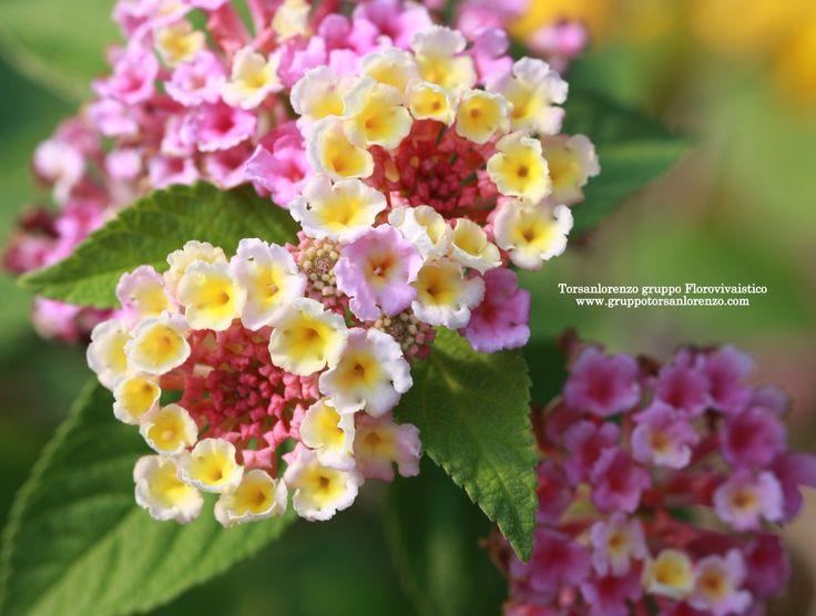 #Flower #Nature #Green #Lantana #petals #Lantana