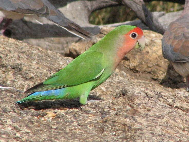 Peach-faced Lovebird in Namibia, Africa.
