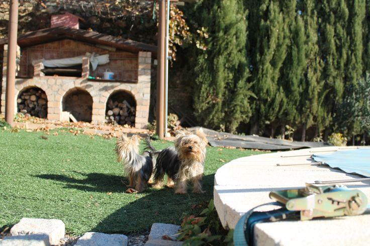 Dos jóvenes cachorros del criadero laneblina de rza yorkshire terrier listos para la venta.