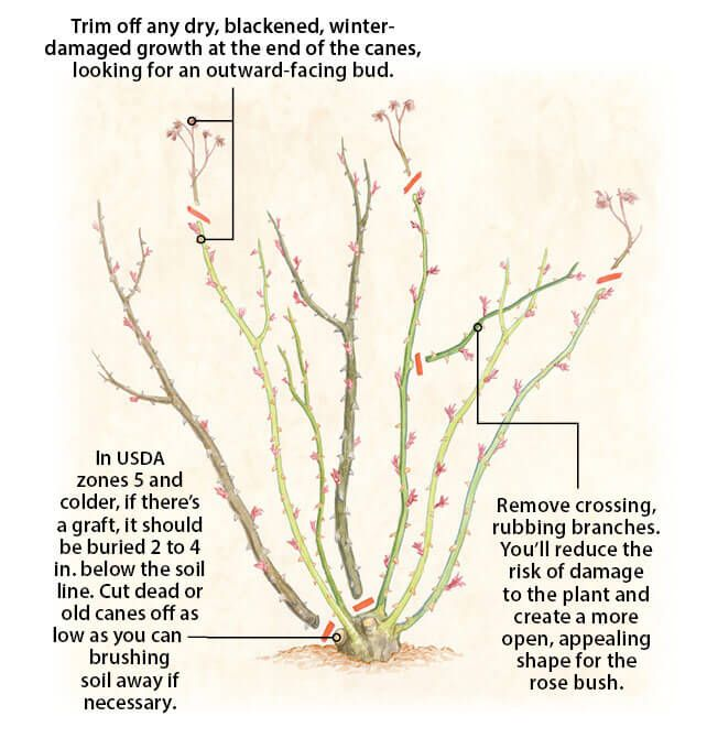 15 Most Effective Tips How To Prune Roses The Gardening Dad Pruning Roses Planting Roses Rose Care