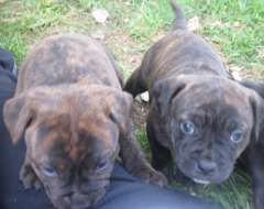Registered Staffordshire Bull Terrier Puppies | puppies for sale Cootamundra New South Wales | Staffordshire Bull Terrier dogs for sale in A...http://www.pups4sale.com.au/dog-breed/491/Staffordshire-Bull-Terrier.html