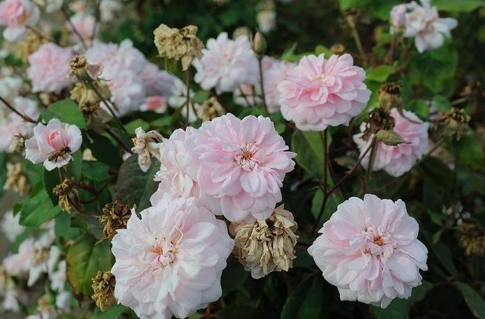 les 25 meilleures id es concernant rosier polyantha sur pinterest rose meilland rosier pierre. Black Bedroom Furniture Sets. Home Design Ideas