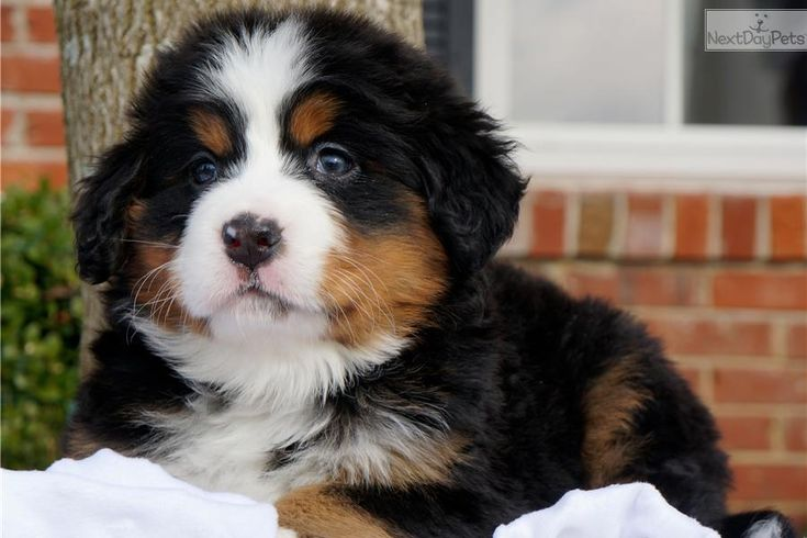 Bernese Mountain Dog Puppy - Female - Dolce | Bernese Mountain Dog puppy for sale near St Louis, Missouri | 284dcf2d-1a81