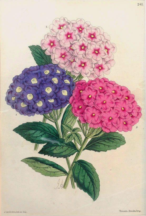 James Andrews - Verbenas (1860)