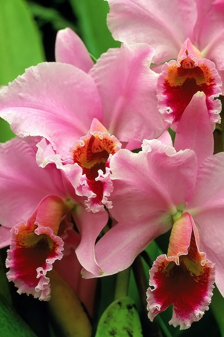 Cattleya orchid, the genus consists of 113 species of orchids native to Costa Rica, the Lesser Antilles and Argentina.