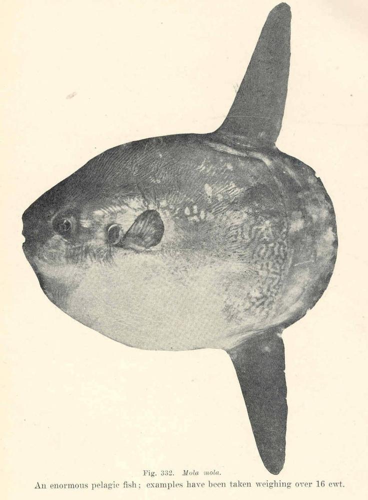 Ocean Sunfish Diagram Search For Wiring Diagrams