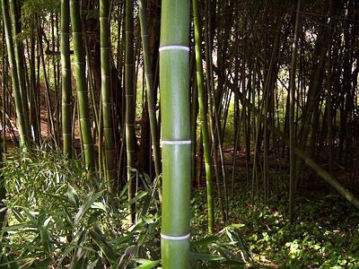 how to grow black bamboo indoors