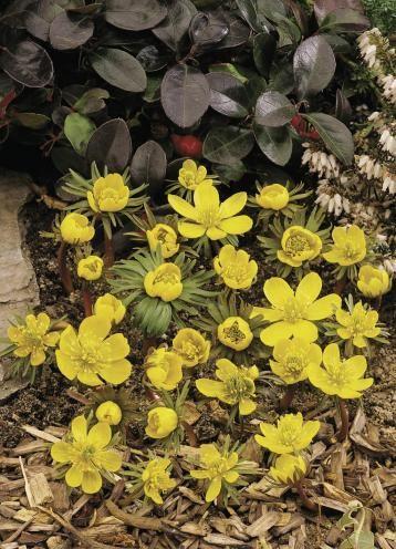 Eranthis cilicica winter akoniet bloei vroeg voorjaar