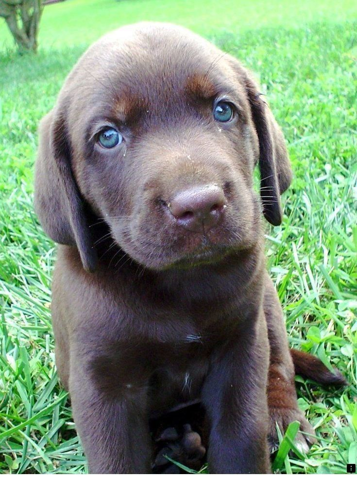 Want To Know More About Golden Retriever Puppies Just Click On The Link To Get More Information Our Web Images A Chocolate Lab Puppies Lab Puppies Puppies