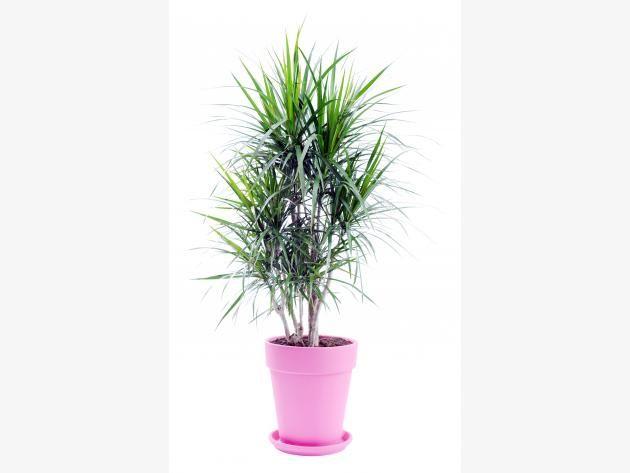Drachenbaum (Dracaena)