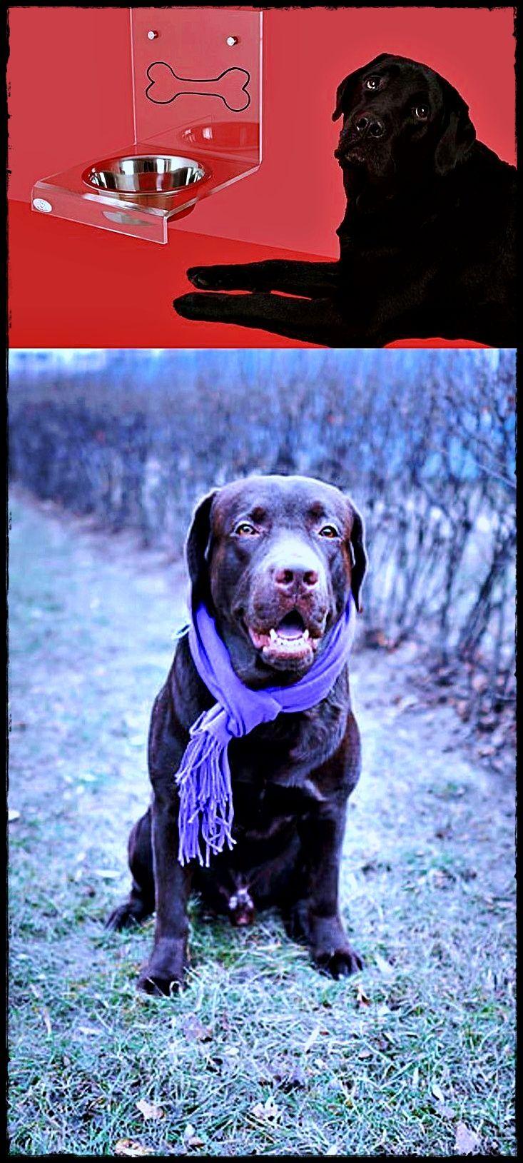 Labrador For Stud Get It Now Labradorbed Labradormeetspuppy Labradordiet Labrador Puppies For Sale Retriever Dog Labrador Rescue