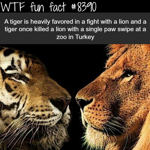 Tiger vs Lion  WTF fun facts