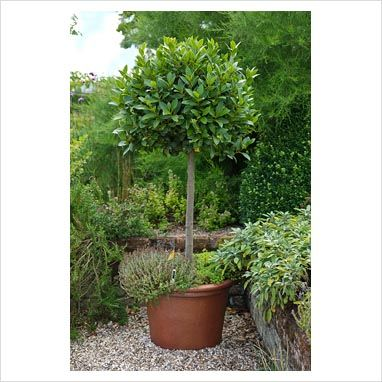 Garden & Plant Picture Library - Laurus nobilis - Standard bay tree in large terracotta pot underplanted with thyme in herb garden