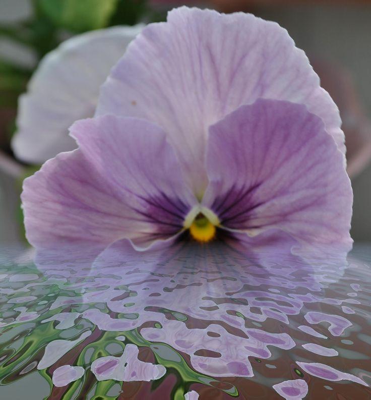 Violet under water.
