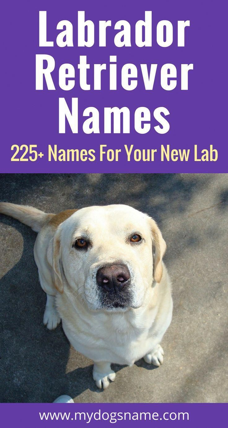 The Ultimate List Of 225 Labrador Retriever Names These Lab Names Are Perfect For Your New Pup If In 2020 Labrador Names Labrador Retriever Facts Labrador Retriever