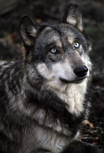 Umbra (f)(shadow) (32 moons)- former lone wolf, unites wolf army with son to end Pax's pack, formerly Pax's mate