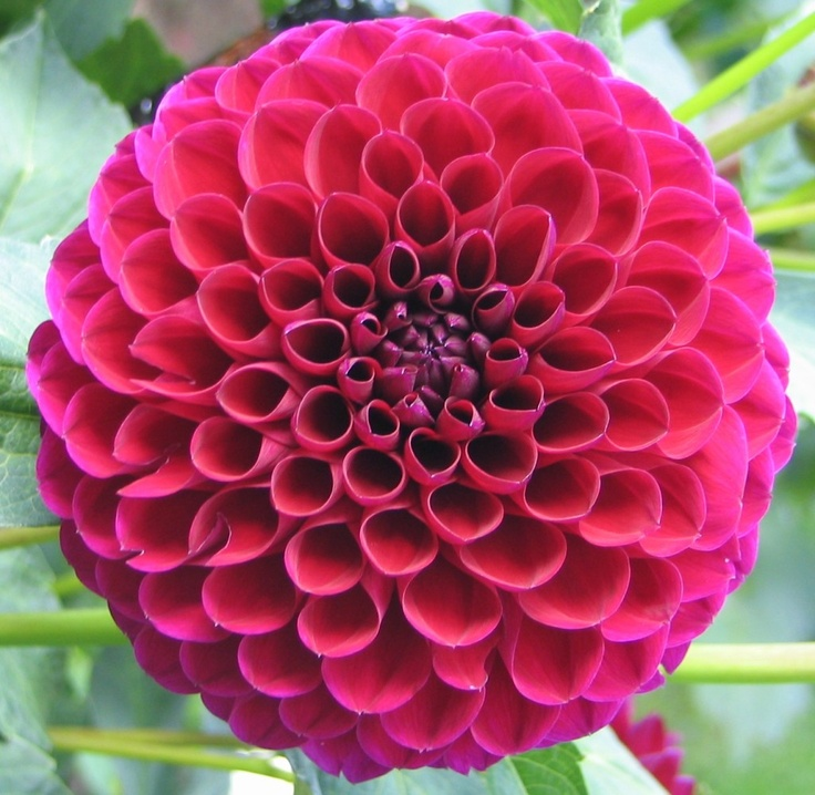 1000+ Images About Red Dahlia On Pinterest