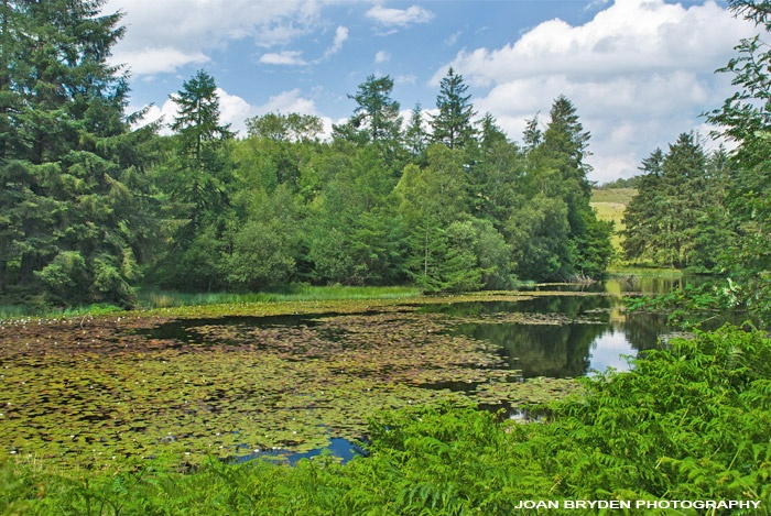 Water lilies on Moss Eccles Tarn in the Lake District National Park, Cumbria, England
