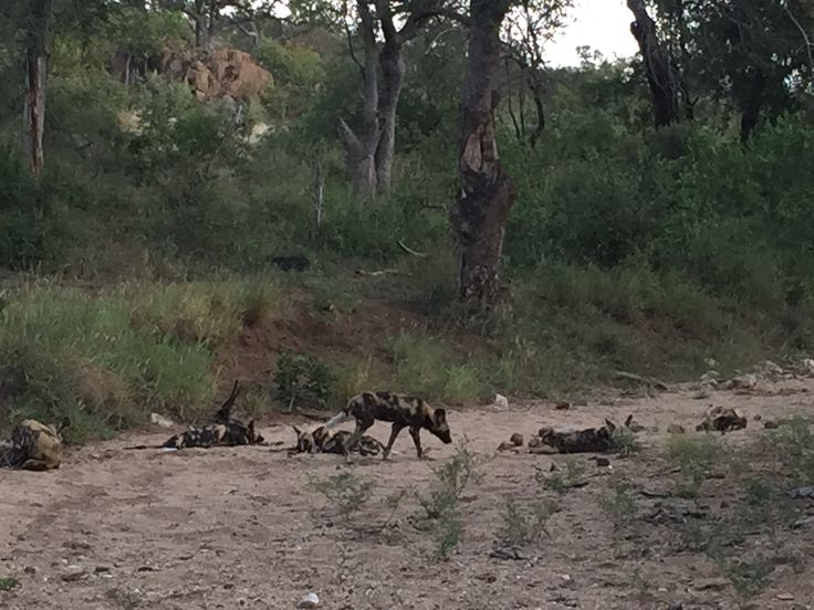 Wild Dogs relaxing after a busy day.